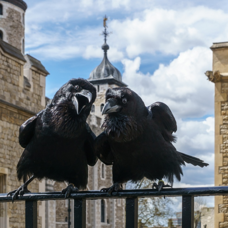 Jubilee_and_Munin,_Ravens,_Tower_of_London_2016-04-30.jpg